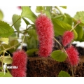 Acalypha hispida (small form)