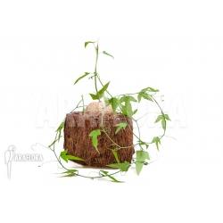 Adenia lindiensis