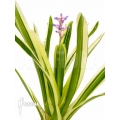 Bromelia 'Aechmea gamosepala' 'Variegated''Starter'