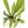Bromelia 'Aechmea kertesziae'