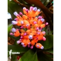 Bromelia 'Aechmea miniata'