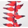 Bromelia 'Aechmea racinae'