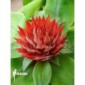 Bromelia 'Aechmea tayoensis'