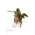Orchidee 'Aerangis rhodosticta'