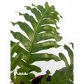 Aglaomorpha brooksii 'L'