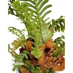 Aglaomorpha brooksii 'XL'