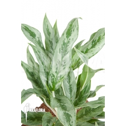 Aglaonema hybrid 3