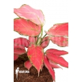 Aglaonema hybrid red