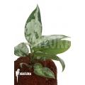 Aglaonema pumilum 'XL'