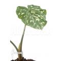 Colocasia 'Hilo beauty'