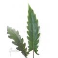 Alocasia lauterbachiana