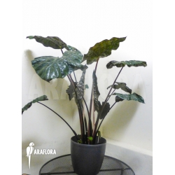 Alocasia x portodora Black beauty