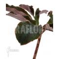 Amorphophallus atroviridis
