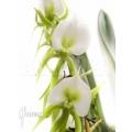 Orchidee 'Angraecum eburneum'