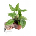 Anthurium Jungle Bush Dwarf (very small) 'L'