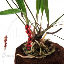 Anthurium gracile