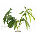Anthurium polyschistum