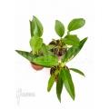Anthurium terrarium pakket