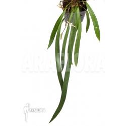 """Anthurium vittarifolium """"XL"""""""