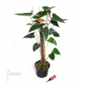 Anthurium x 'Jungle'