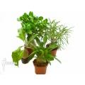 Araflora antplant package fourspecies
