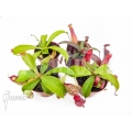Araflora carnivorous plant nepenthes starter package