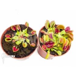 Araflora Carnivorous plant Venusflytrap Starter package