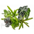 Araflora terrarrium plant starterpacket