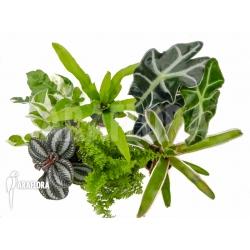 Araflora Terrarrium plant Starterpackage
