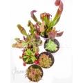 Araflora xl outdoor winterhardy carnivorous plants