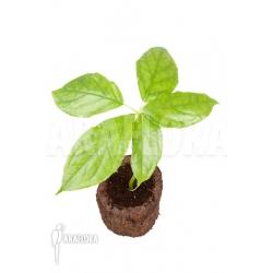 Arisaema filiforme 'Java'