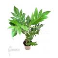 Artocarpus species