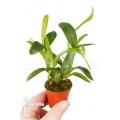 Orchidee 'Aspasia lunata'  'M'