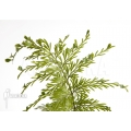 Tongvaren asplenium daucifolium