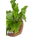 Tongvaren asplenium nidus 'Campio'