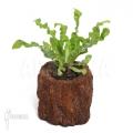Tongvaren asplenium nidus 'Crispy'