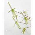 Orchidee 'Barbosella gardneri'