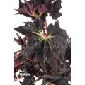 Begonia 'Black Fang'