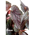 Begonia 'Polka Dot Pink' 'L'