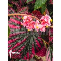 Begonia brevirimosa subsp exotica starter