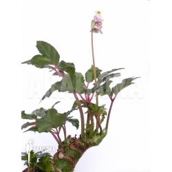 Begonia carolineifolia leaf