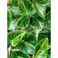 Begonia chingipengii 'Starter'