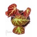 Begonia decora