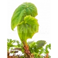 Begonia josephii