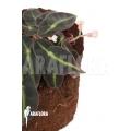 Begonia listida 'M'