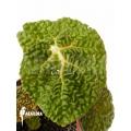 Begonia moysesii