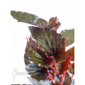 Begonia new Red