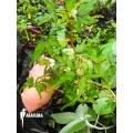 Begonia partita 'Plug'