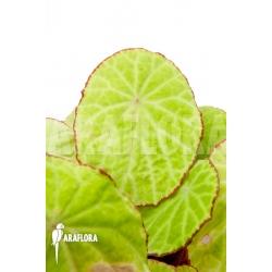 Begonia scapigera