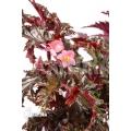 "Begonia serratipetala ""XL"""